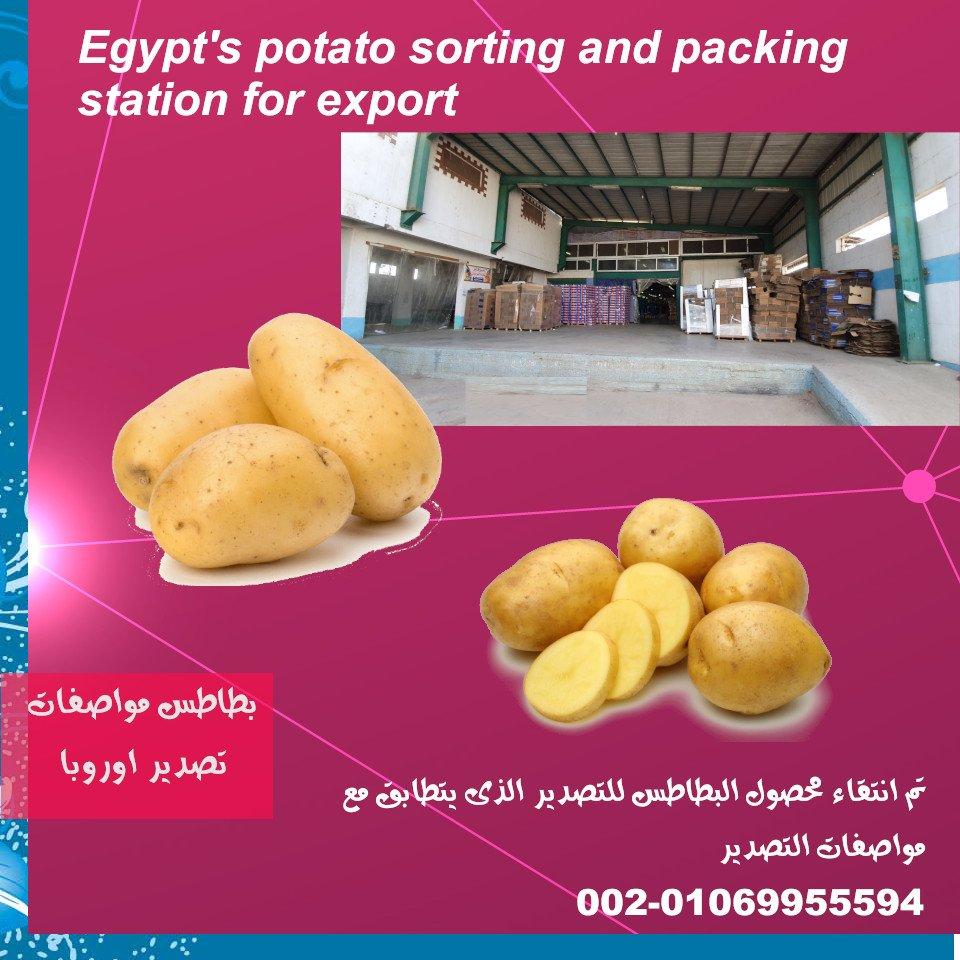 محطة فرز وتعبئة بطاطس بمصر